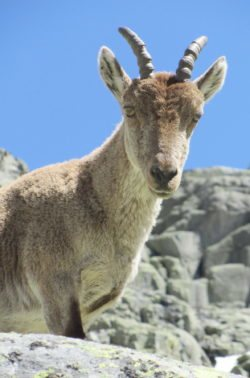 cabra pirenaica